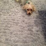 Bellevue-Dog-carpet-clean